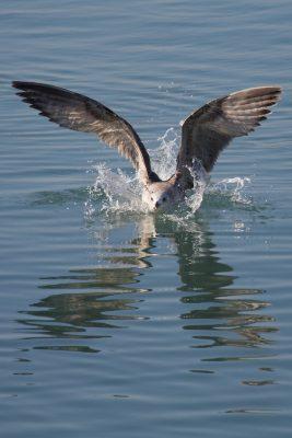 Möwe landet auf dem Wasser