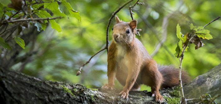 Eichhörnchen auf Eichenast