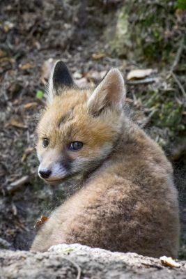 Fuchswelpe schaut sich um