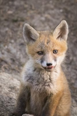 Fuchswelpe leckt sich die Schnautze