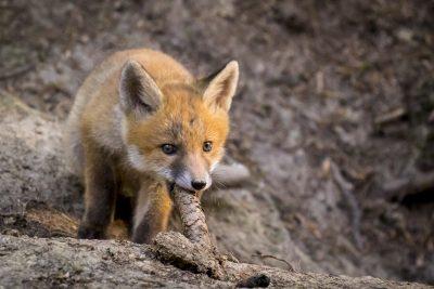 Fuchswelpe mit Fichtenzapfen