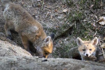 Fuchswelpe klettert in die Höhle