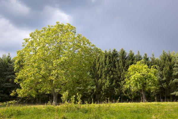Nuss und Apfelbaum vor dunklen Wolken
