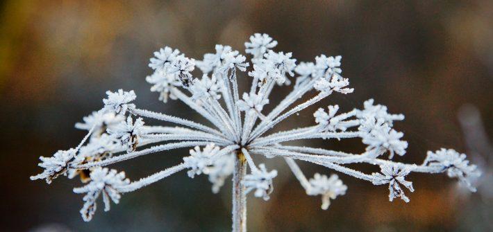 Trockene Blüte mit Eiskristallen