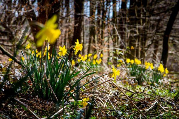 Osterglocken im Wald