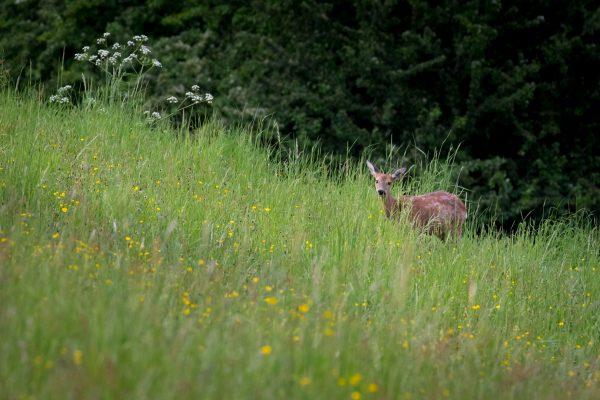 Junges Reh im hohen Gras
