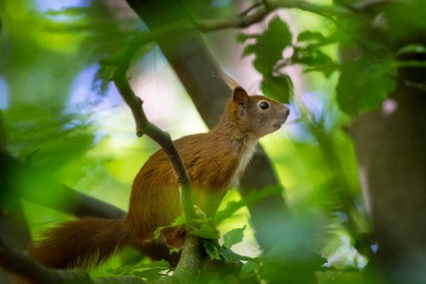 Eichörnchen auf Ast in jungem Grün