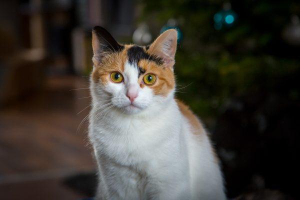 Portrait einer weiß, rot, schwarzen Katze