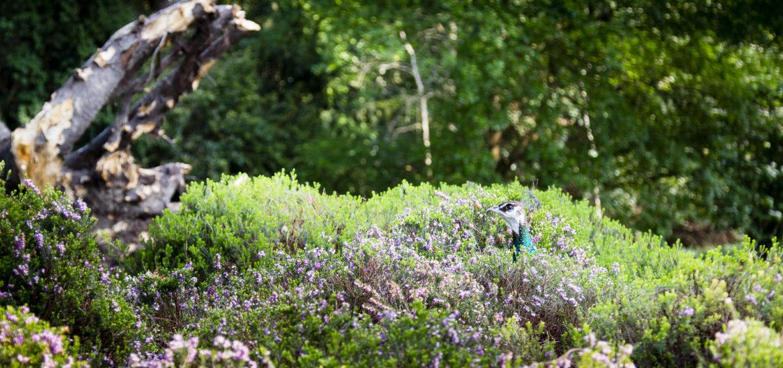 Pfau versteckt in Heide